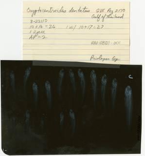 To NMNH Extant Collection (Cryptocentroides dentatus RAD108721-001B)