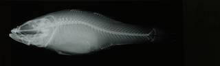 To NMNH Extant Collection (Perccottus glenii RAD108730-001)