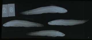 To NMNH Extant Collection (Gobiomorphus hubbsi RAD108745-001)
