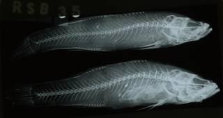 To NMNH Extant Collection (Gobiomorphus cotidianus RAD108747-001)