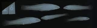 To NMNH Extant Collection (Gobiomorphus RAD108750-001)