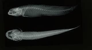 To NMNH Extant Collection (Apocryptodon madurensis RAD108758-001)