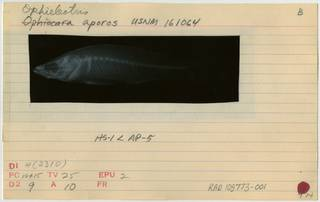 To NMNH Extant Collection (Ophieleotris aporos RAD108773-001B)