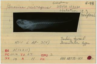 To NMNH Extant Collection (Guavina micropus RAD108778-001B)