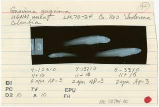 To NMNH Extant Collection (Guavina guavina RAD108784-001B)