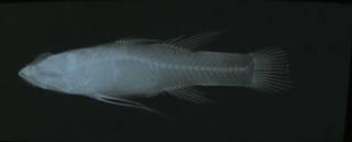 To NMNH Extant Collection (Calumia biocellata RAD108796-001)