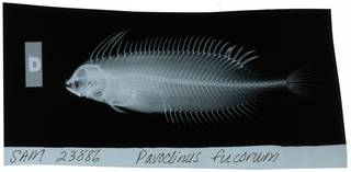 To NMNH Extant Collection (Smithichthys fucorum RAD111331-001)