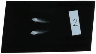 To NMNH Extant Collection (Malacoctenus erdmani RAD111344-001)