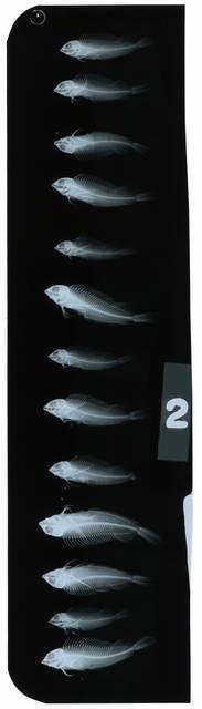 To NMNH Extant Collection (Malacoctenus erdmani RAD111344-002)