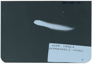 To NMNH Extant Collection (Ekemblemaria myersi RAD111356-001)