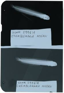 To NMNH Extant Collection (Ekemblemaria myersi RAD111356-002)