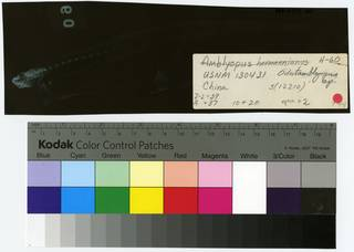 To NMNH Extant Collection (Odontamblyopus lacepedii RAD111377-001B)