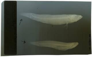 To NMNH Extant Collection (Odonteleotris RAD108833-001)