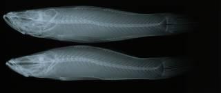 To NMNH Extant Collection (Oxyeleotris marmorata RAD108835-001)