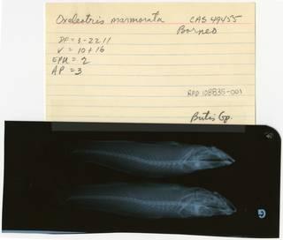 To NMNH Extant Collection (Oxyeleotris marmorata RAD108835-001B)