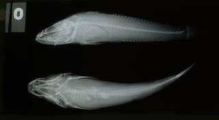 To NMNH Extant Collection (Neogobius kessleri RAD108861-001)