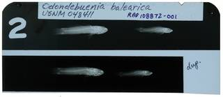 To NMNH Extant Collection (Odondebuenia balearica RAD108872-001)