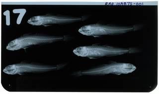 To NMNH Extant Collection (Lesueurigobius friesii RAD108875-001)