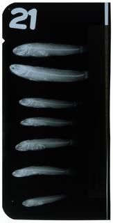 To NMNH Extant Collection (Nematogobius maindroni RAD108878-001)
