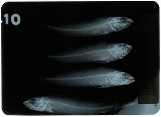 To NMNH Extant Collection (Neogobius fluviatilis RAD108879-001)