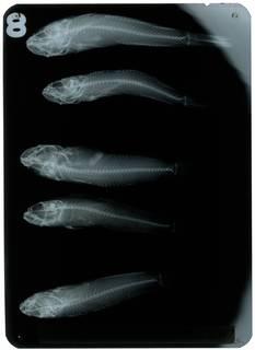To NMNH Extant Collection (Gobius gymnotrachelus RAD108881-001)