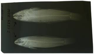 To NMNH Extant Collection (Mauligobius RAD108884-001)