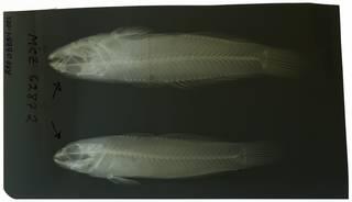 To NMNH Extant Collection (Mauligobius RAD108884-001)
