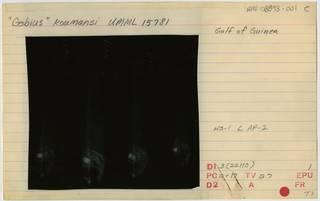 To NMNH Extant Collection (Lesueurigobius koumansi RAD108893-001B)