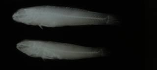 To NMNH Extant Collection (Bathygobius ramosus RAD108898-001)