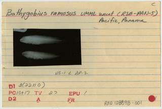 To NMNH Extant Collection (Bathygobius ramosus RAD108898-001B)
