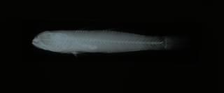 To NMNH Extant Collection (Gobius senegambiensis RAD108900-001)