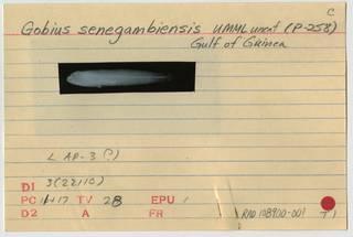 To NMNH Extant Collection (Gobius senegambiensis RAD108900-001B)
