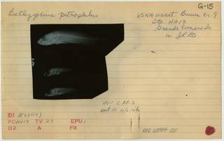 To NMNH Extant Collection (Bathygobius petrophilus RAD108904-001B)