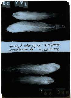To NMNH Extant Collection (Mauligobius RAD108905-001)