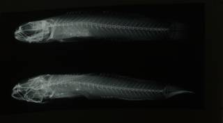 To NMNH Extant Collection (Gobiosoma chiquita RAD108919-001)