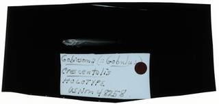 To NMNH Extant Collection (Gobiosoma crescentalis RAD108930-001)