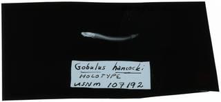To NMNH Extant Collection (Gobulus hancocki RAD108931-002)