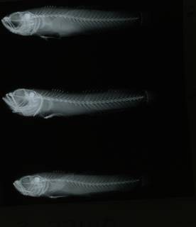 To NMNH Extant Collection (Microgobius curtus RAD108941-001)