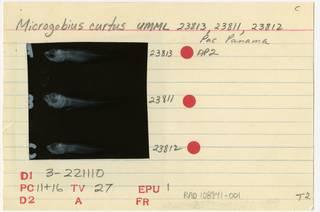 To NMNH Extant Collection (Microgobius curtus RAD108941-001B)