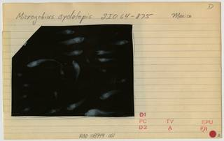 To NMNH Extant Collection (Microgobius cyclolepis RAD108949-001B)
