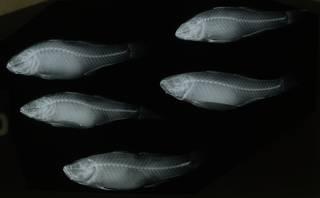 To NMNH Extant Collection (Eleotris somnulentus RAD108955-001)