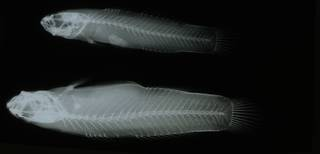 To NMNH Extant Collection (Mucogobius flavobrunneus RAD108960-001)