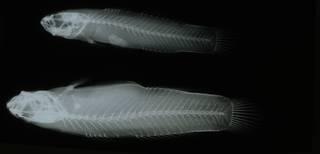 To NMNH Extant Collection (Mucogobius flavobrunneus RAD108960-001)