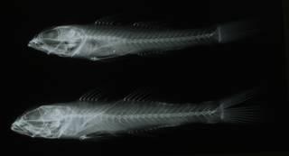 To NMNH Extant Collection (Fusigobius neophytus RAD108967-001)