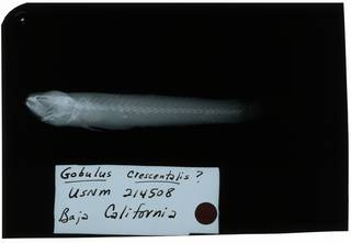 To NMNH Extant Collection (Gobulus crescentalis RAD108976-001)