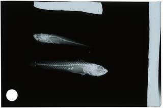 To NMNH Extant Collection (Microgobius emblematicus RAD108982-001)