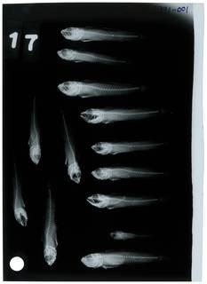 To NMNH Extant Collection (Microgobius miraflorensis RAD108991-001)