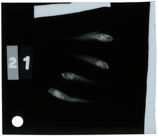 To NMNH Extant Collection (Microgobius signatus RAD108995-001)