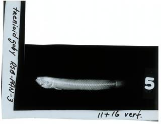 To NMNH Extant Collection (Taenioides RAD109026-001)