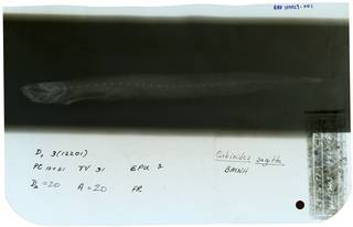 To NMNH Extant Collection (Gobioides sagitta RAD109029-001)